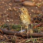 Song Thrush - Alcester - 2012