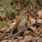 Song Thrush - Alcester - 2011