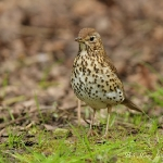 Song Thrush - Titchwell NR - 2012