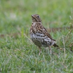 Song Thrush - Bucks - 2015