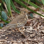 Song Thrush - Titchwell NR - 2016