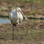 Spoonbill - Slimbridge - 2017