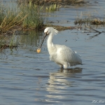 Spoonbill - Slimbridge WT - 2011