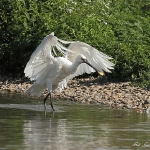 Spoonbill - Slimbridge WT - 2013