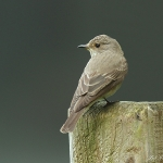 Spotted Flycatcher - Herf's - 2011