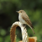 Spotted Flycatcher - Hereford - 2011