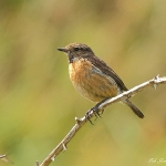 Stonechat - Martins Haven - 2011