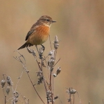 Stonechat - Titchwell NR - 2016