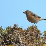 Stonechat - South Stack - 2021
