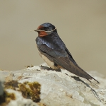 Swallow - Skomer - 2011