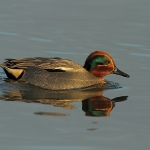 Teal - Titchwell NR - 2012