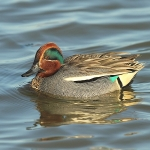 Teal - Titchwell NR - 2014