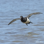 Tufted Duck - Cley NR - 2012