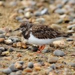 Turnstone - Salthouse - 2013