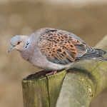 Turtle Dove - Norfolk - 2016