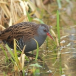 Water Rail - Slimbridge WWT - 2017