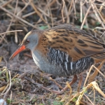 Water Rail - Slimbridge WWT - 2018