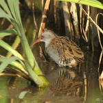 Water Rail - Upton Warren NR - 2011