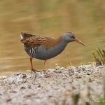 Water Rail - Upton Warren NR - 2013