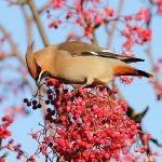 Waxwing - Droitwich - 2012