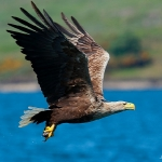 White Tailed Eagle - Mull - 2016