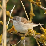 Whitethroat - Cley NR - 2013