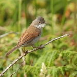 Whitethroat - Martins Haven - 2011