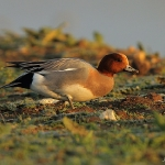 Wigeon - Titchwell NR - 2012