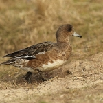 Wigeon - Cley NR - 2015