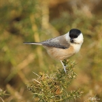 Willow Tit - Brocton - 2013