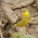 Yellowhammer - Malvern - 2011