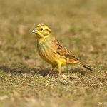 Yellowhammer - Brocton - 2013