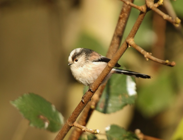 Long Tailed Tit - Hillers Nursery - 2010