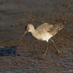 Black Tailed Godwit - Titchwell NR - 2014