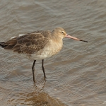 Black-Tailed Godwit - Titchwell NR - 2014