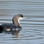 Black-throated Diver - Arrow Valley - 2019