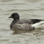 Brent Goose - Titchwell NR - 2011