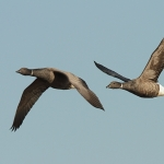 Brent Goose - Titchwell NR - 2014