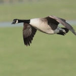 Canada Goose - Slimbridge WWT - 2020