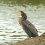 Cormorant - Swindon - 2011