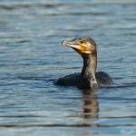 Cormorant - Slimbridge - 2016