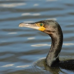 Cormorant - Slimbridge WWT - 2020