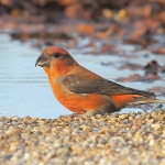 Crossbill - West Stow - 2014