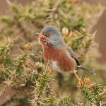 Dartford Warbler - Worlds End - 2011