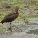 Glossy Ibis - Craven Arms - 2013