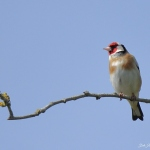 Goldfinch - Malvern - 2021