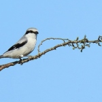 Great Grey Shrike - Hawling - 2018