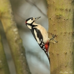 Great Spotted Woodpecker - Alcester - 2012