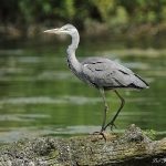 Grey Heron - Swindon - 2013