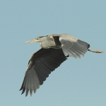 Grey Heron - Swindon - 2011